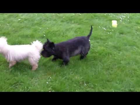 Fergus Cairn Terrier & Bichon Peppa.