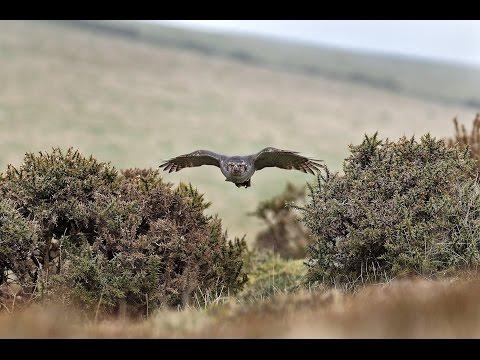 Falconry 4 | Hunting with Goshawks, Peregrine Falcons & Harris' Hawks - with Nigel Hawkins