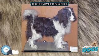 Toy Trawler Spaniel  Everything Dog Breeds