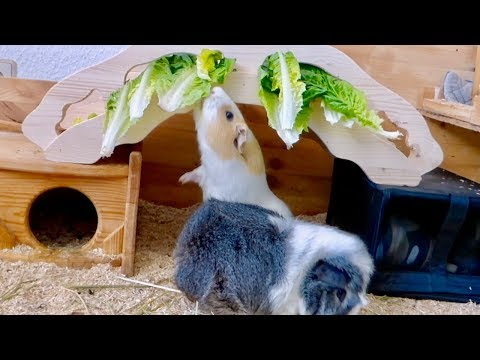 A Lettuce Forest for the Guinea Pigs