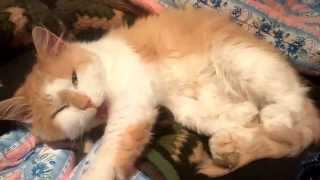Коты чихают. Sneezing cats compliation 2015