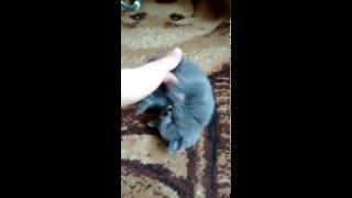 шотландский кот ,1,5 месяца