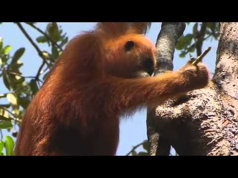 """Thumbnail for the embedded element """"Orangutan using tool"""""""