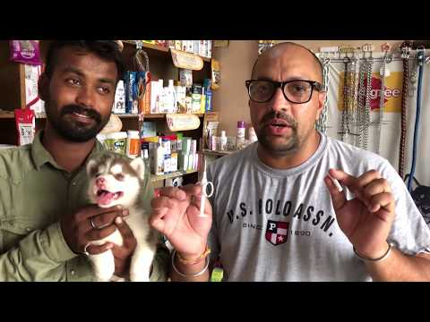 Pet Care - How to inject micro chip in dog - Bhola Shola