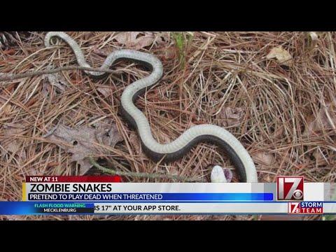 Змея, которая в случае опасности, притворяется мертвой