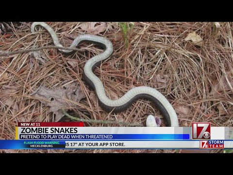 Sharon Green - Zombie Snake That Plays Dead?  Not Today Satan!!