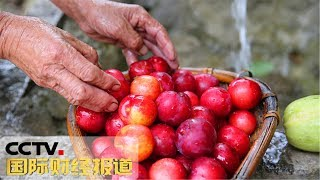 [国际财经报道] 陕西:初秋时节到 三秦果飘香 | CCTV财经