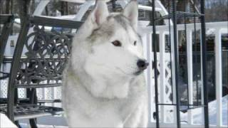 Indiana Our 3-legged Siberian Husky Loves To Talk