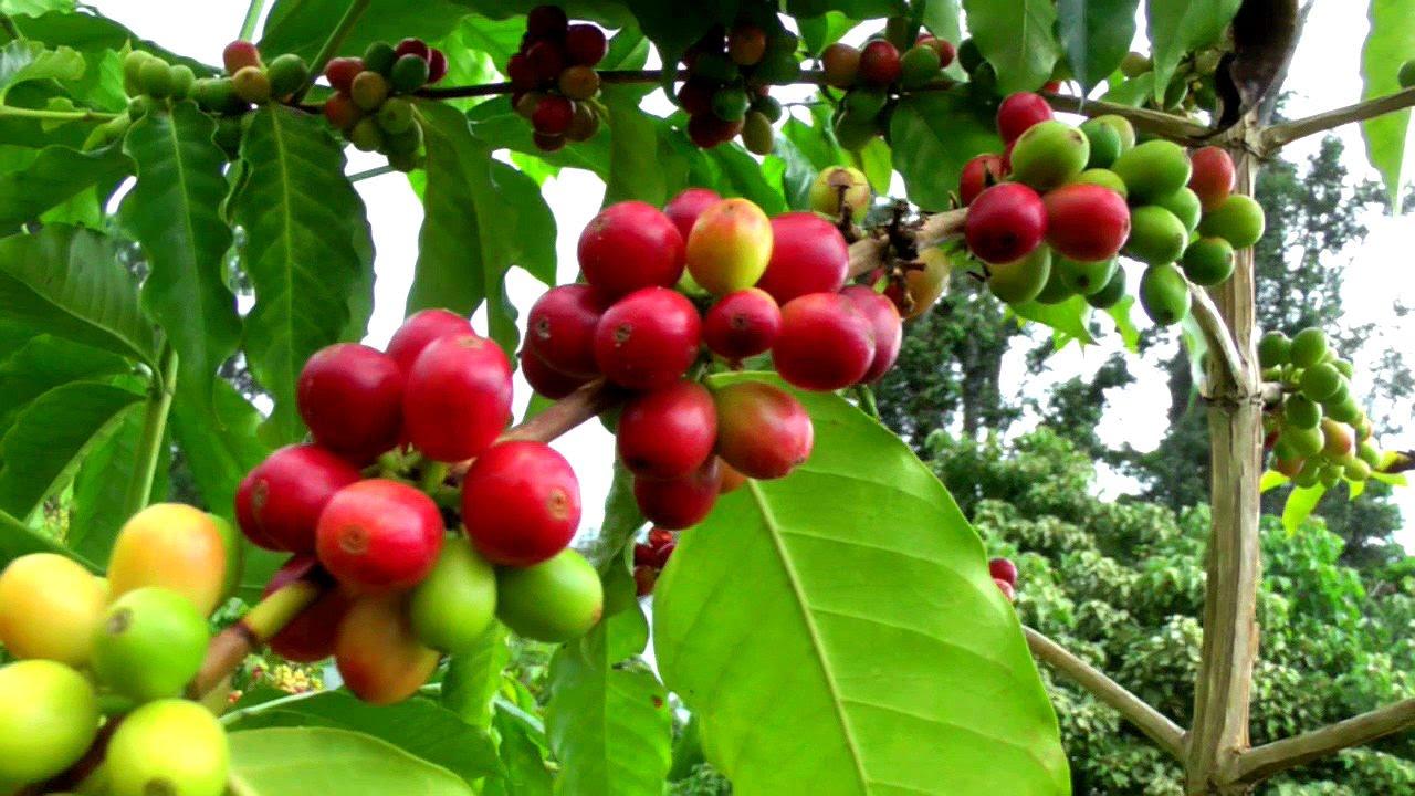 arabica coffea