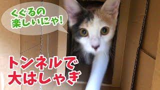 子猫のぽてと・ダンボールトンネルに大喜び