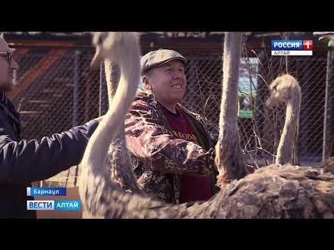 На ферме в барнаульском посёлке Власиха на летнее содержание перевели страусов