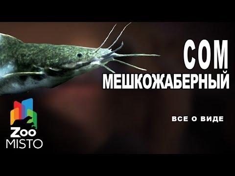Сом мешкожаберный Все о виде рыбы | Вид рыбы сом мешкожаберный