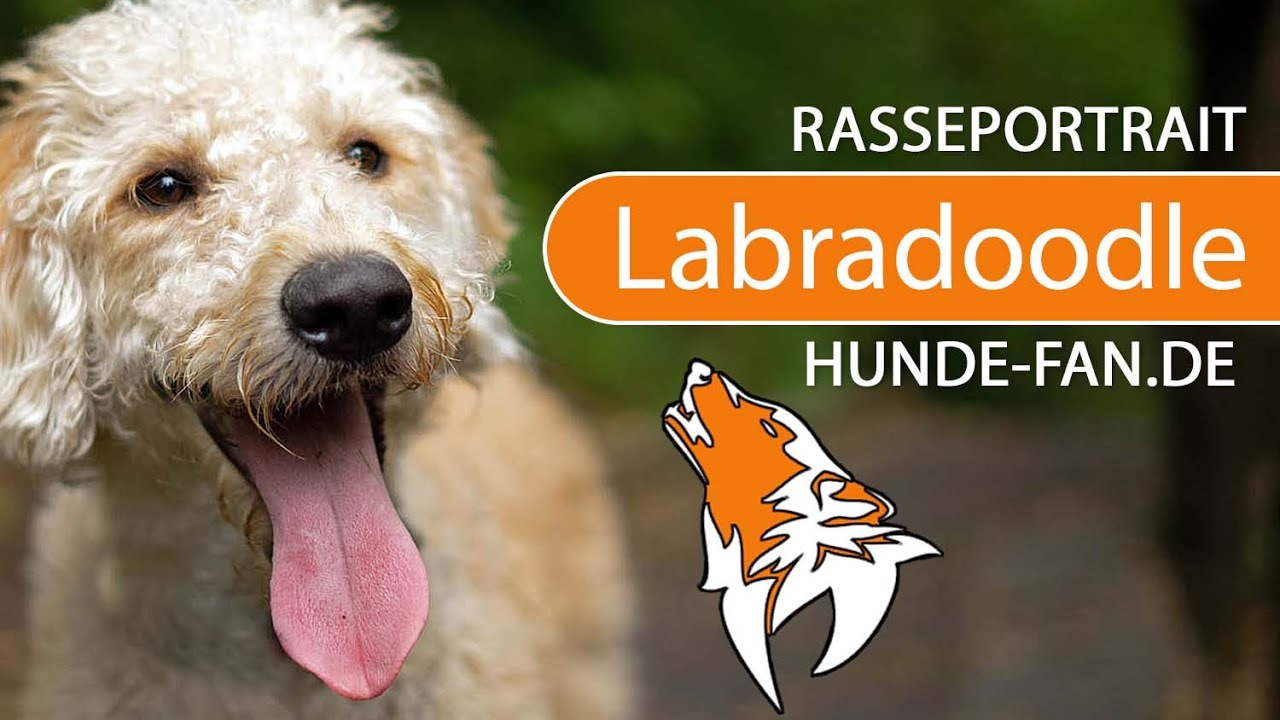 Labradoodle 2019 Breed Appearance Character
