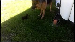 Yorkshire Terrier Vs German Shepherd Dog