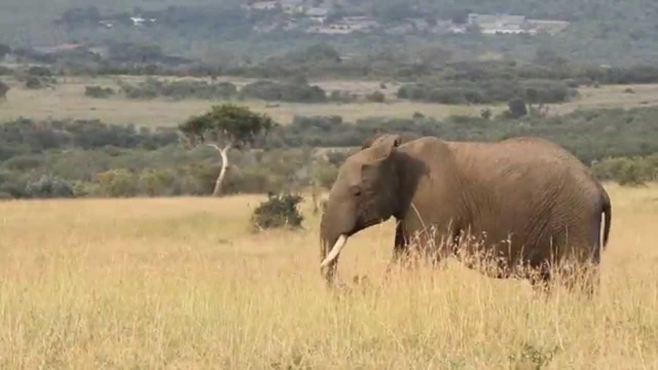 See Elephants in their Natural Habitat in Kenya - YouTube
