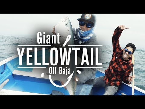 Giant Yellowtail Fishing Ensenada | Raw