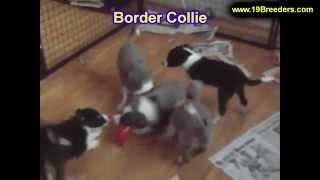 Border Collie, Puppies, For, Sale, In, Gresham, Oregon, County, Or, Multnomah, Washington, Clackamas