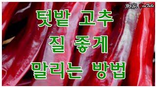 텃밭 고추 건조법(수경재배 분무식)