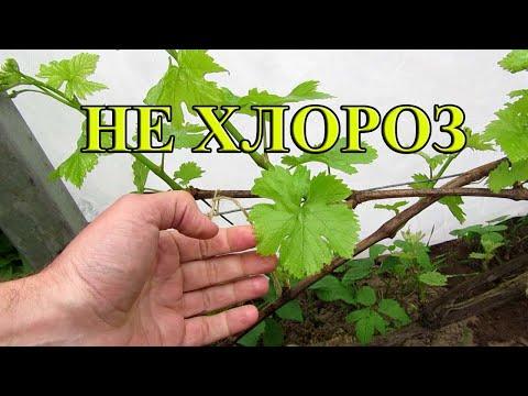 🔴🔴Это не хлороз. Почему желтеют листья на винограде?