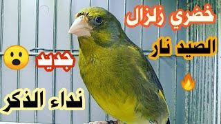 غناء خضري الصيد _ Greenfinch Singning cante del verderon