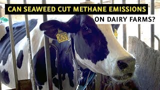 Can Seaweed Cut Methane Emissions on Dairy Farms? thumbnail