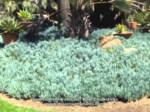 Senecio mandraliscae - Blue Chalksticks
