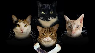 Bohemian Catsody - A Rhapsody Parody Song for Every Cat Queen and King!