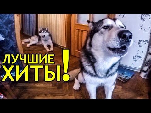 АЛЯСКИНСКИЙ МАЛАМУТ ПОЁТ / Alaskan Malamute singing