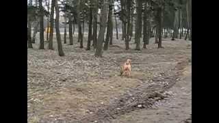Dog breed Shar Pei.Nickname Uzi.Собака породы Шарпей.Кличка Узи.
