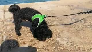 Black Toy Poodle dog