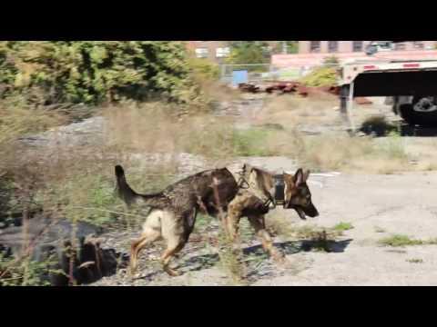 K9 Kyra | Kyra does a Dynamite search | Solid K9 Training Dog Training