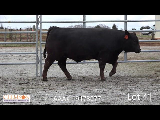 Clemson Extension Bull Test Lot 41