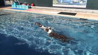 German Shorthaired Pointer Gracie Gets The Toy & Pit Bull Terrier Toby Watches