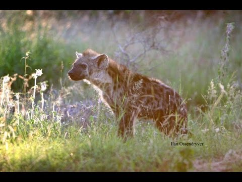 Hyena Drinking At Satara Waterhole Live! - 28th September 2012 - Latest Sightings