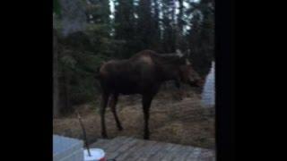 Raw: Alaska Moose Harmonizes with Wind Chimes
