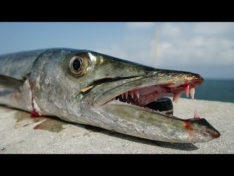 Ultimate TRASH Fish Taste Test- Catch Clean Cook- Barracuda