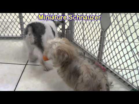 Miniature Schnauzer, Puppies, For, Sale, In, East Honolulu, Hawaii, HI, Makaha, Pukalani, Haiku Pauw