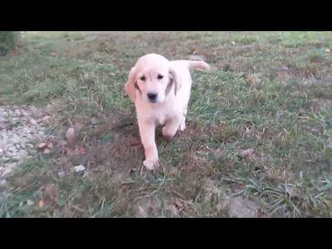 Lilly - Golden Retriever Puppy for sale Ohio