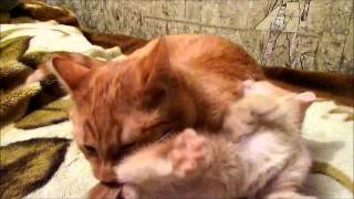 Рыжие коты братья играються