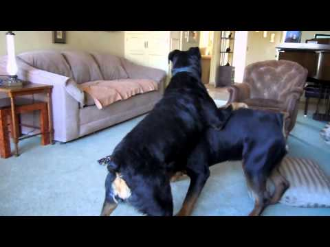 Rottweilers playing 2 2013