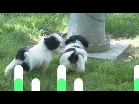 Wilma Yoder's Shih Tzu puppies for sale