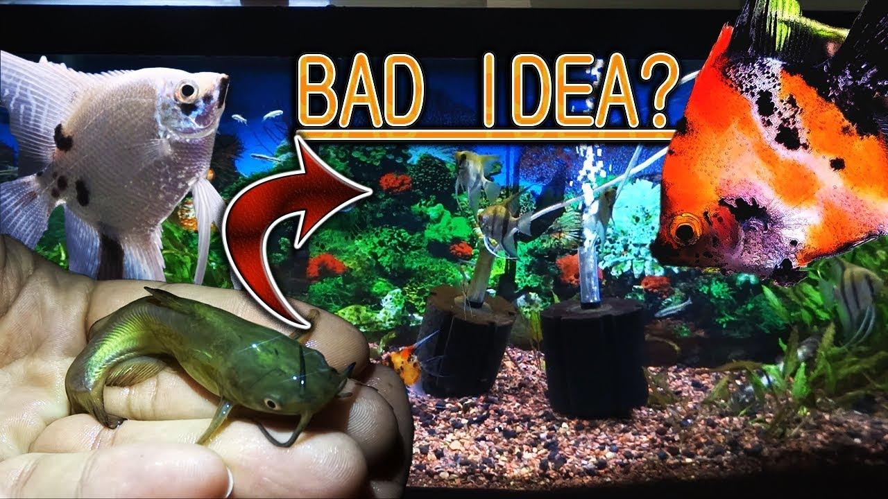 Bad idea? Moving my bullhead fish to my angelfish tank