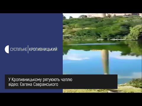 Суспільне Кропивницький: У Кропивницькому рятують чаплю
