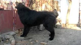 Romanian Raven Shepherd Dog - 7,5 Months - Ciobanesc Corb
