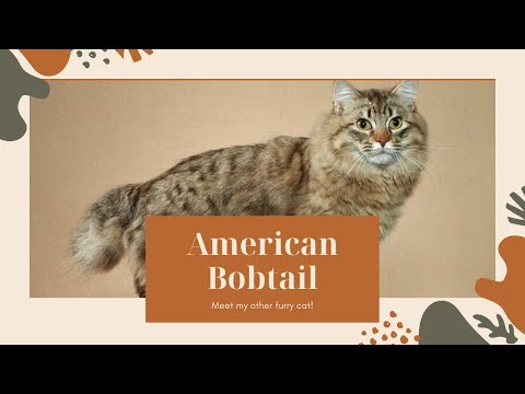 American Bobtail Cat Breed|Information About American Bobtail Cat|American Bobtail|Japanese Bobtail