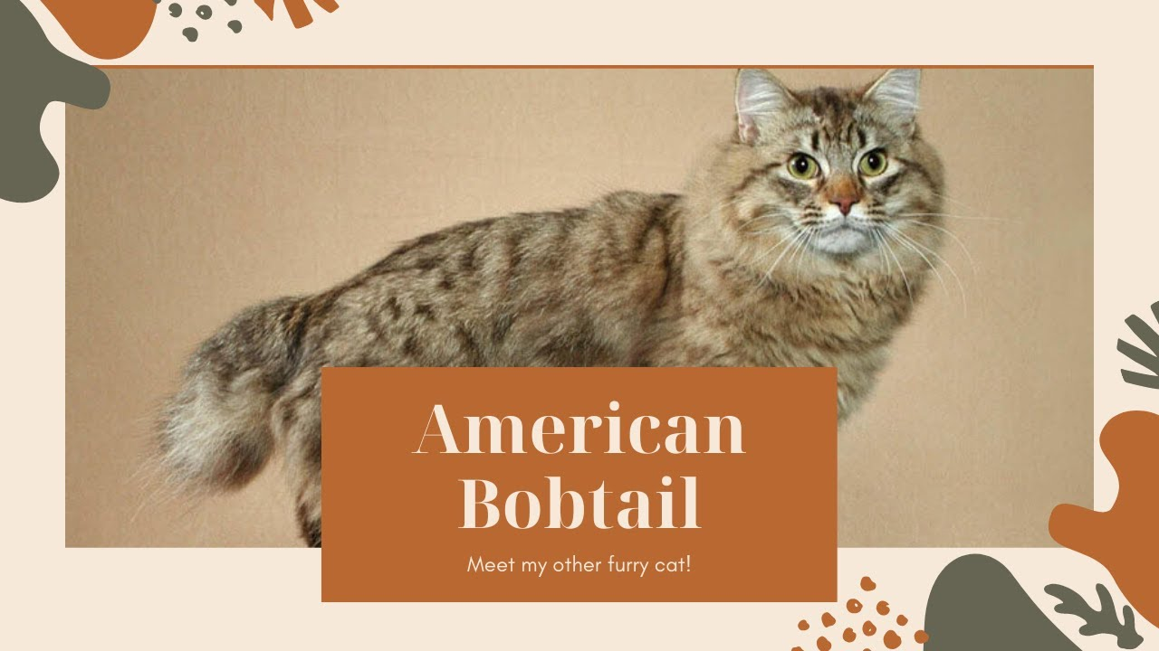 American Bobtail Cat Breed Information About American ...