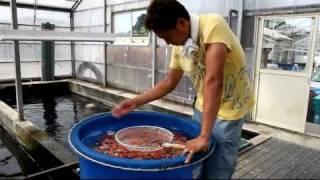 Hoshikin Koi Farm - 2011 Tosai Kohaku Selection - Koibito Japan