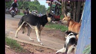 Street Dog..! Ridgeback dog VS Adoption dog along street in my village