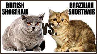 British Shorthair Cat VS. Brazilian Shorthair Cat