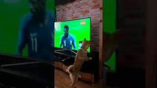 Сиба ину смотрит футбол..